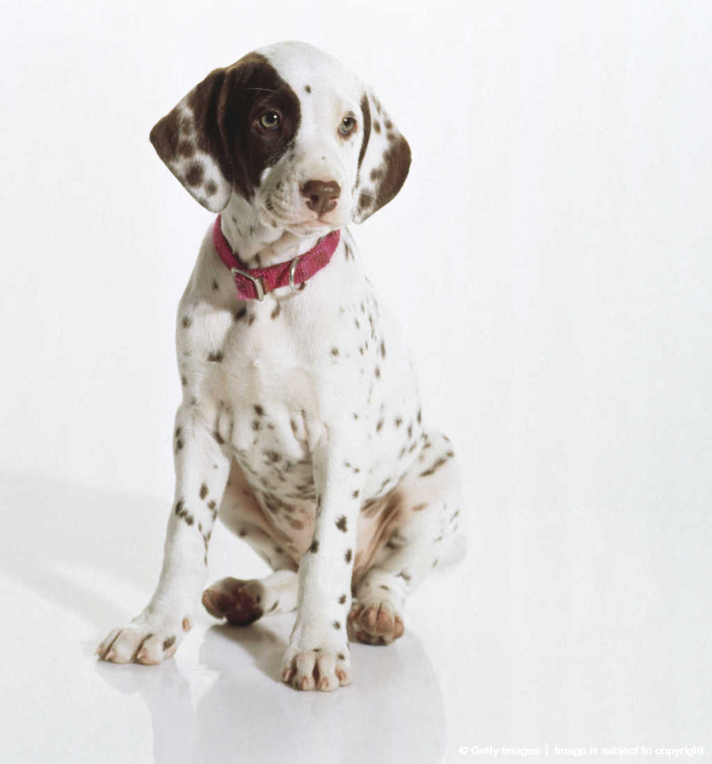 Dalmatian puppy (canis familiaris), side view.