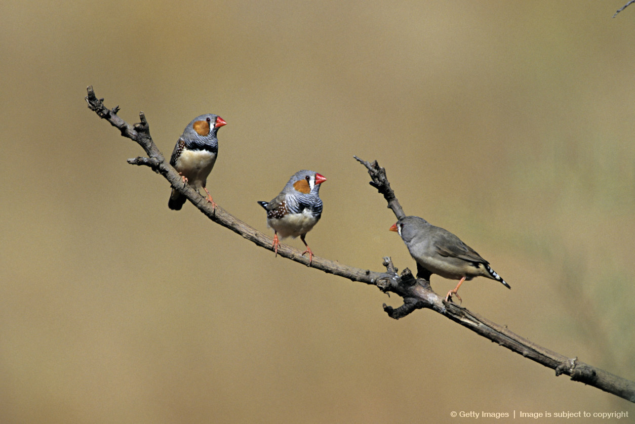 Three Zebra Finches, Poephila guttata, perched on a branch, Western Australia.
