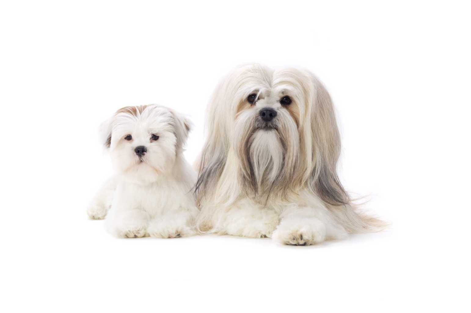 Adult and puppy Lhasa Apso dogs