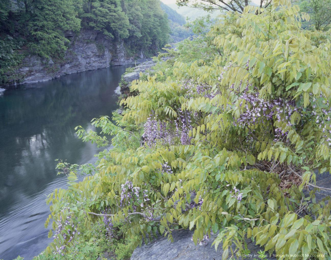 Wisteria and Arakawa River, Nagatoro, Saitama, Japan