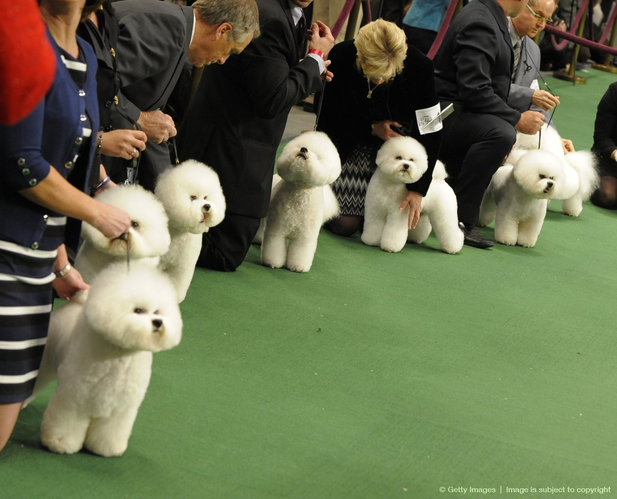 Bichon Frises line up to be judged durin
