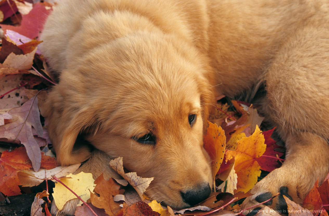 "GOLDEN RETRIEVER PUPPY, ""Sammy"". Sitting on top of autumn fallen leaves. Michigan. Breed of dog developed especially in America and England for retrieving..."