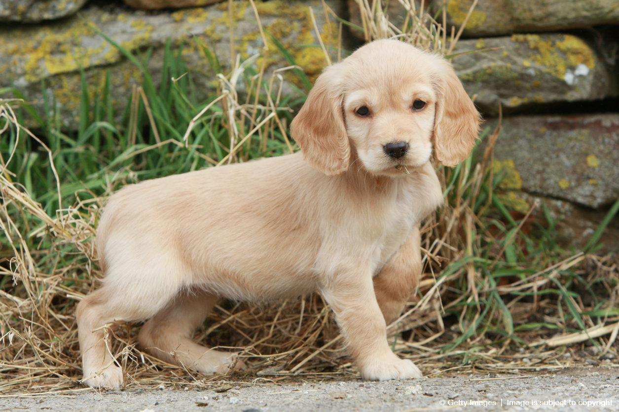 Cocker spaniel puppy (Canis lupus familiaris), UK
