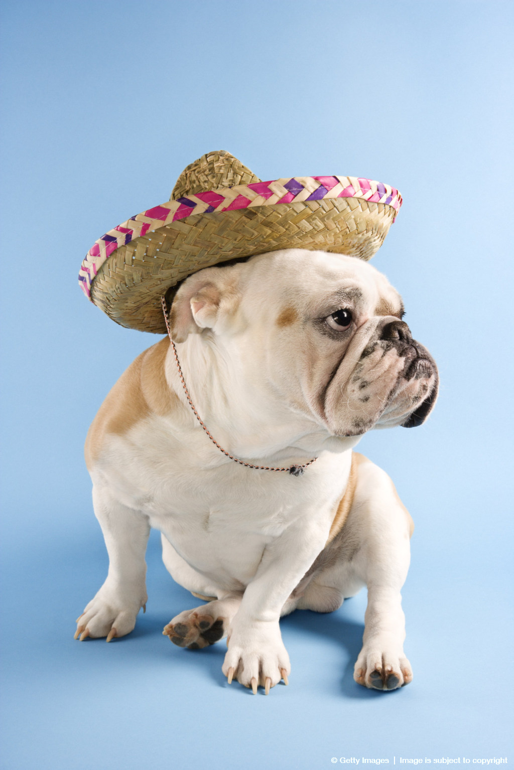 English Bulldog wearing sombrero on blue background looking off to the side.
