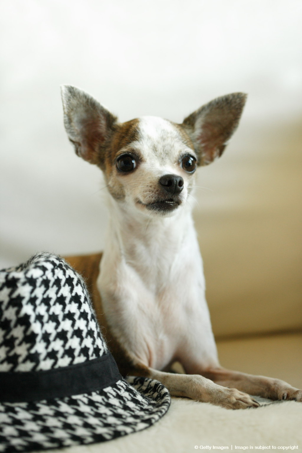 Chihuahua sitting with a hat