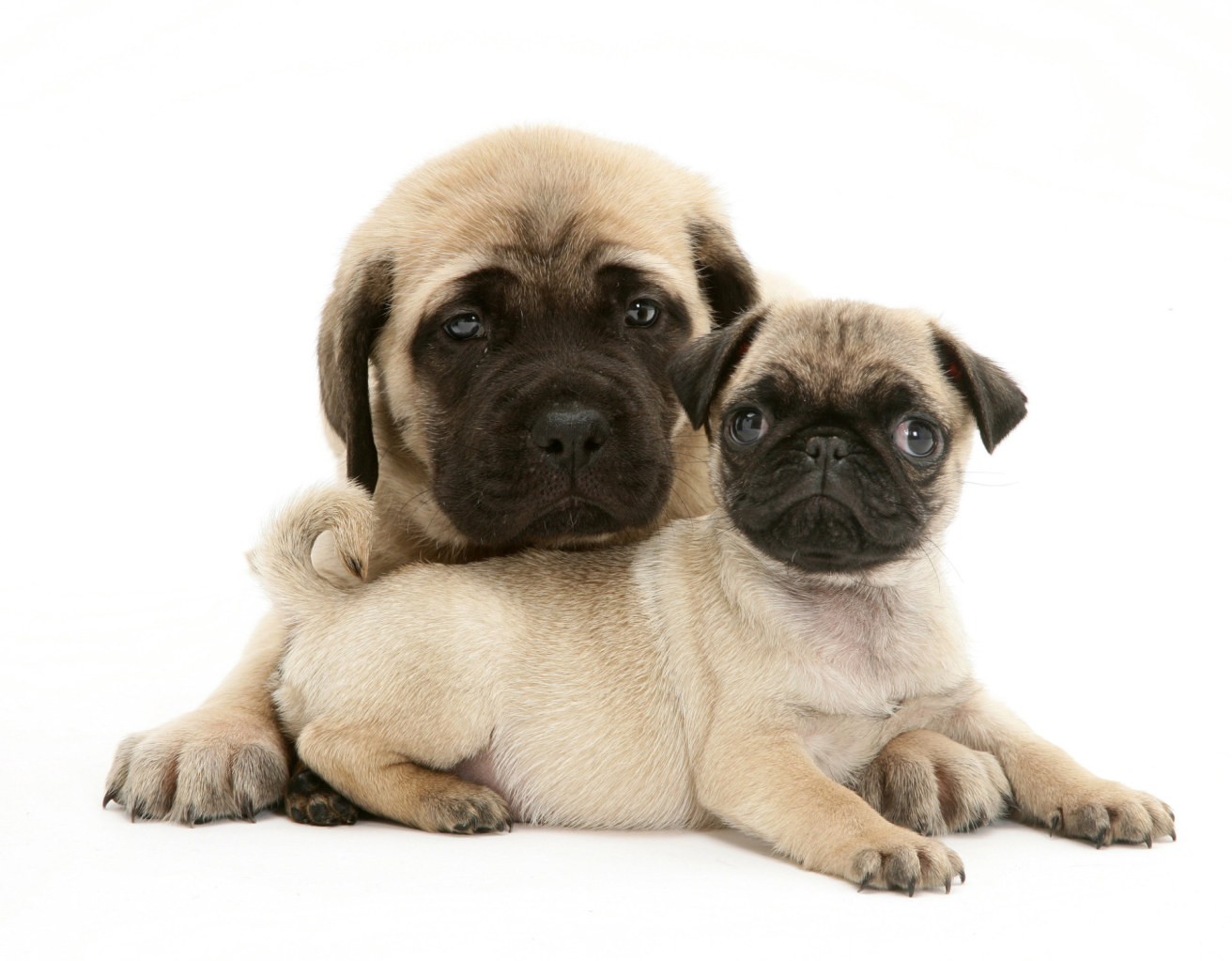 Fawn pug puppy with fawn English Mastiff puppy.