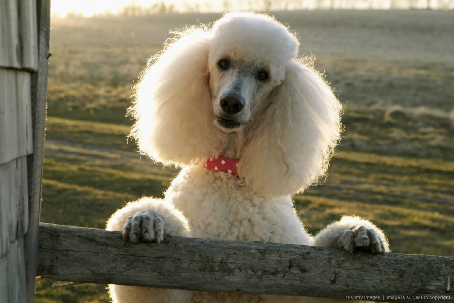 Poodle Leaning on Wooden Fence