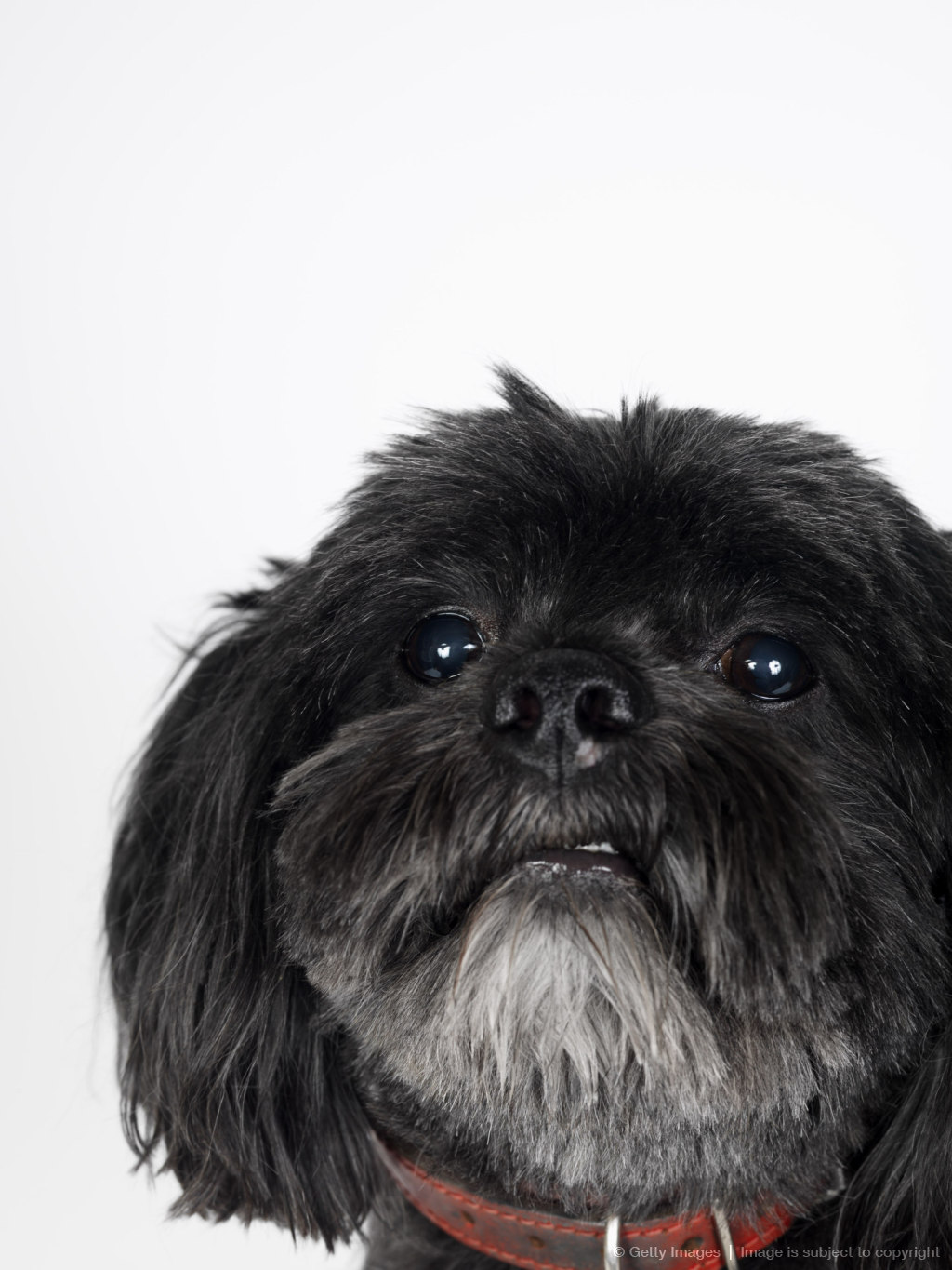 Portrait of Lhasa Apso
