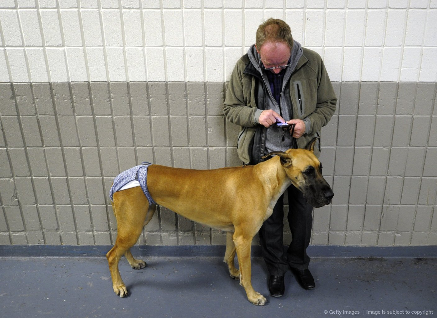 A handler and his Great Dane waits to go