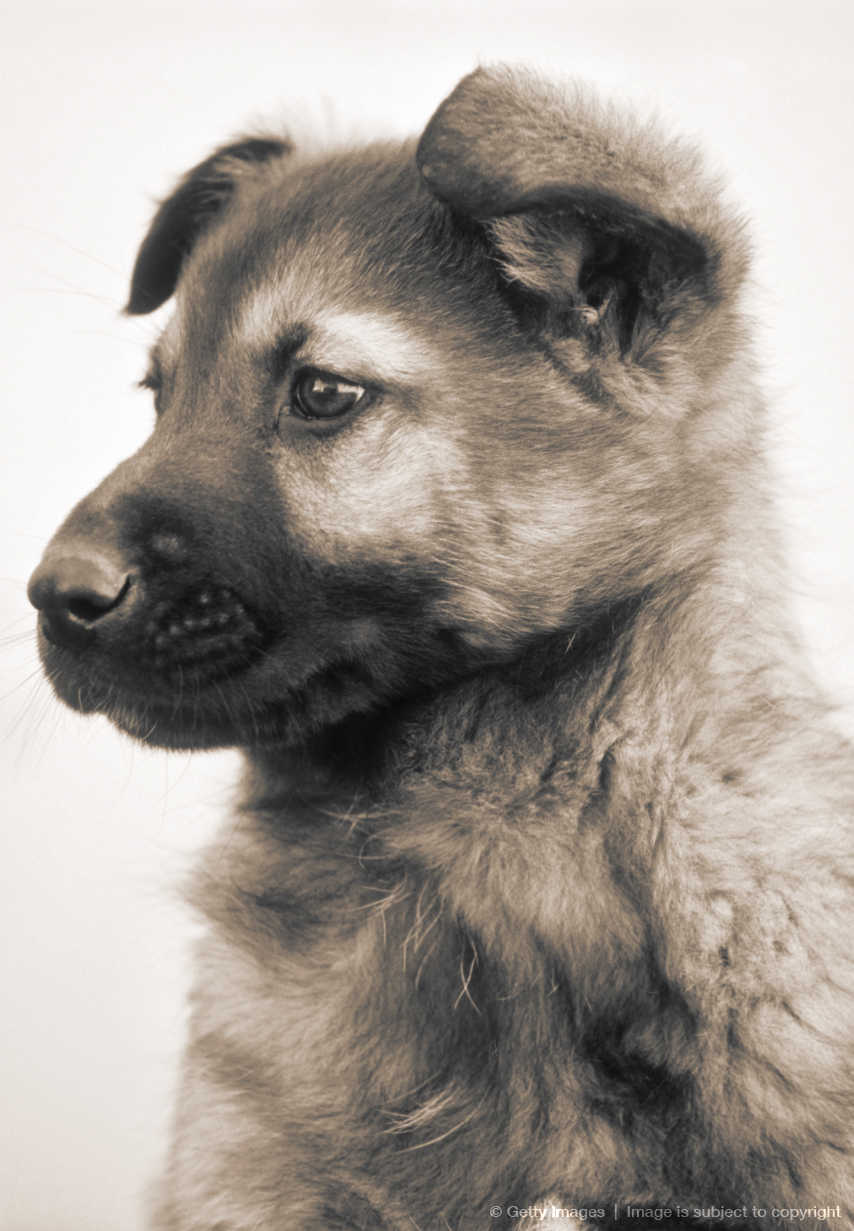 Mixed Breed Puppy of Collie, Husky and German Shepherd.
