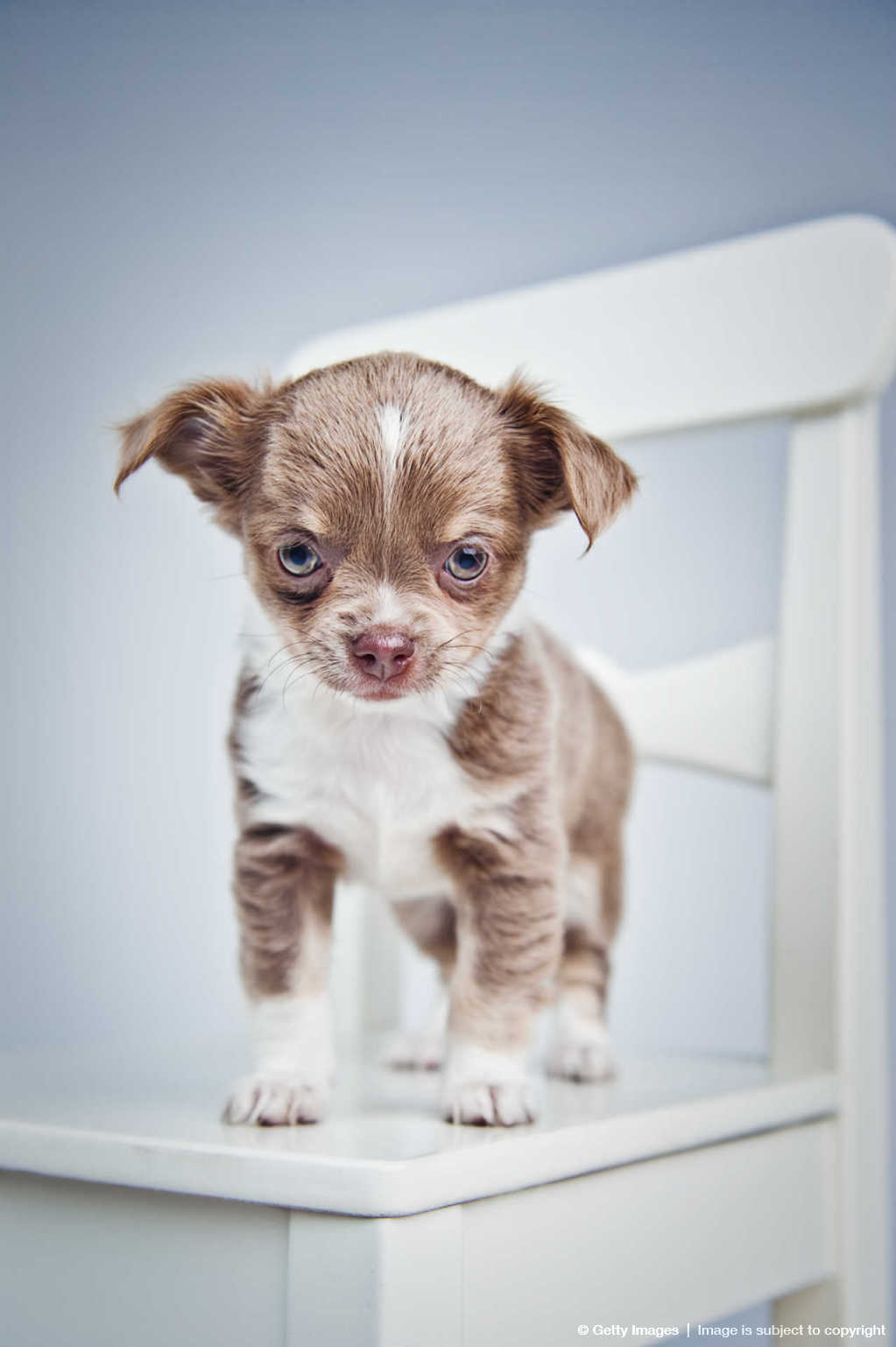 Cute Chihuahua puppy looking at you